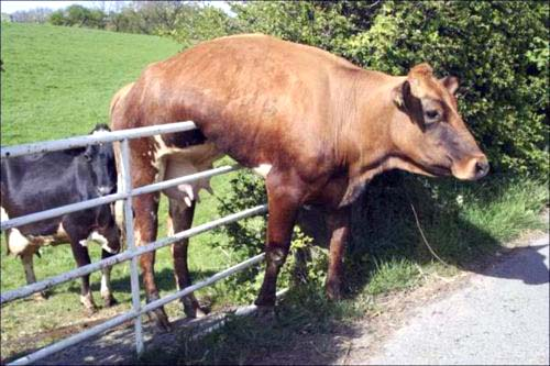 A Cow that heard of the NTCC's Plans to Spray the hay fields with Human Poo Desperately Tries to Escape.  Why don't You NTCC'rs Follow This Clever Cow to Freedom?