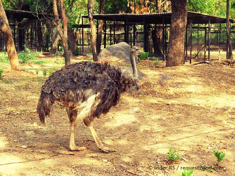 female ostritch bird