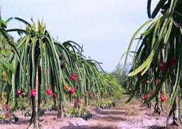 http://www.organiknusantara.com/2014/01/cara-budidaya-buah-naga-dengan-nasa.html