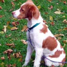 Brittany Dog Pictures 1