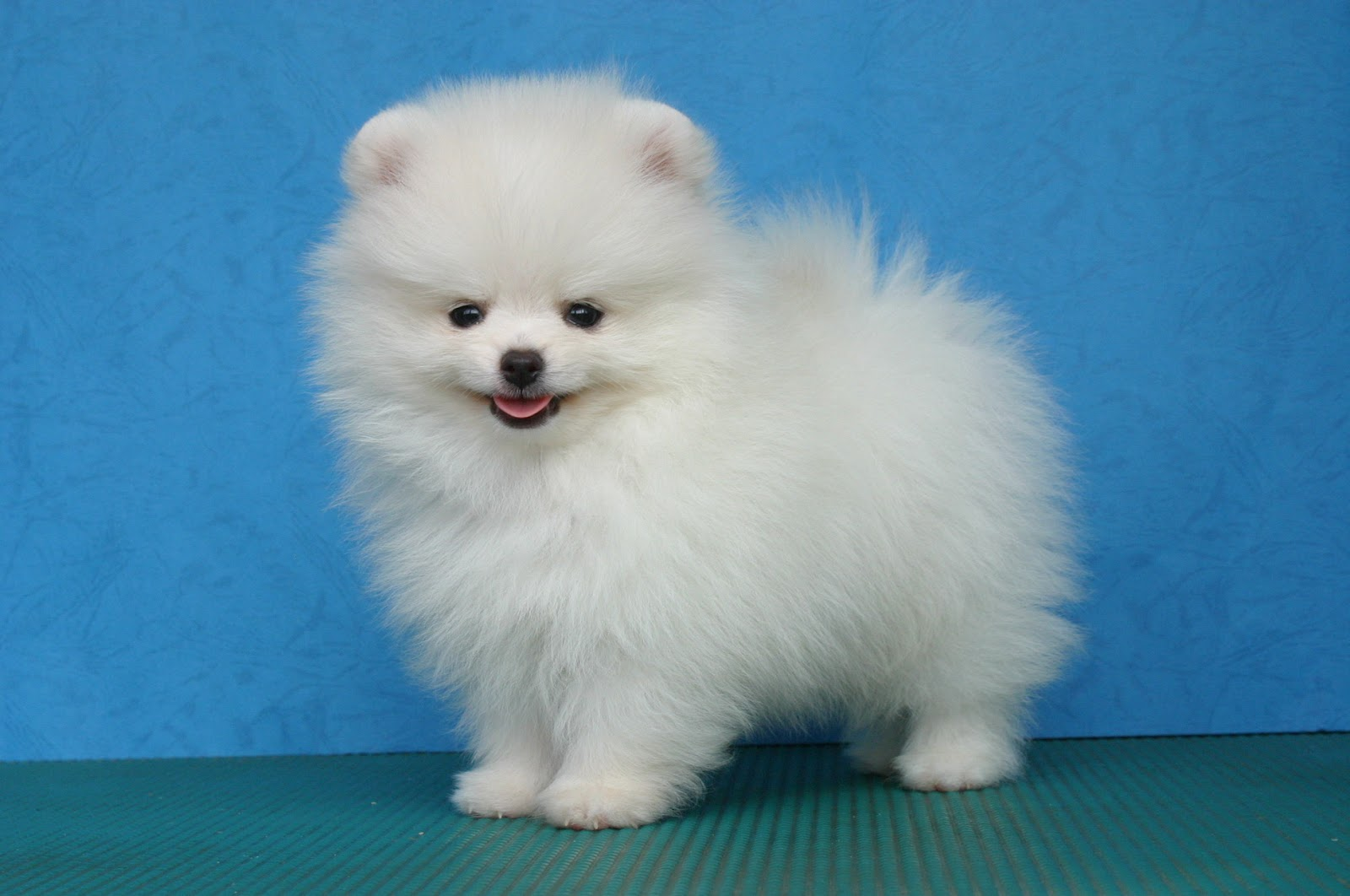 White Teacup Pomeranian Wallpaper Download