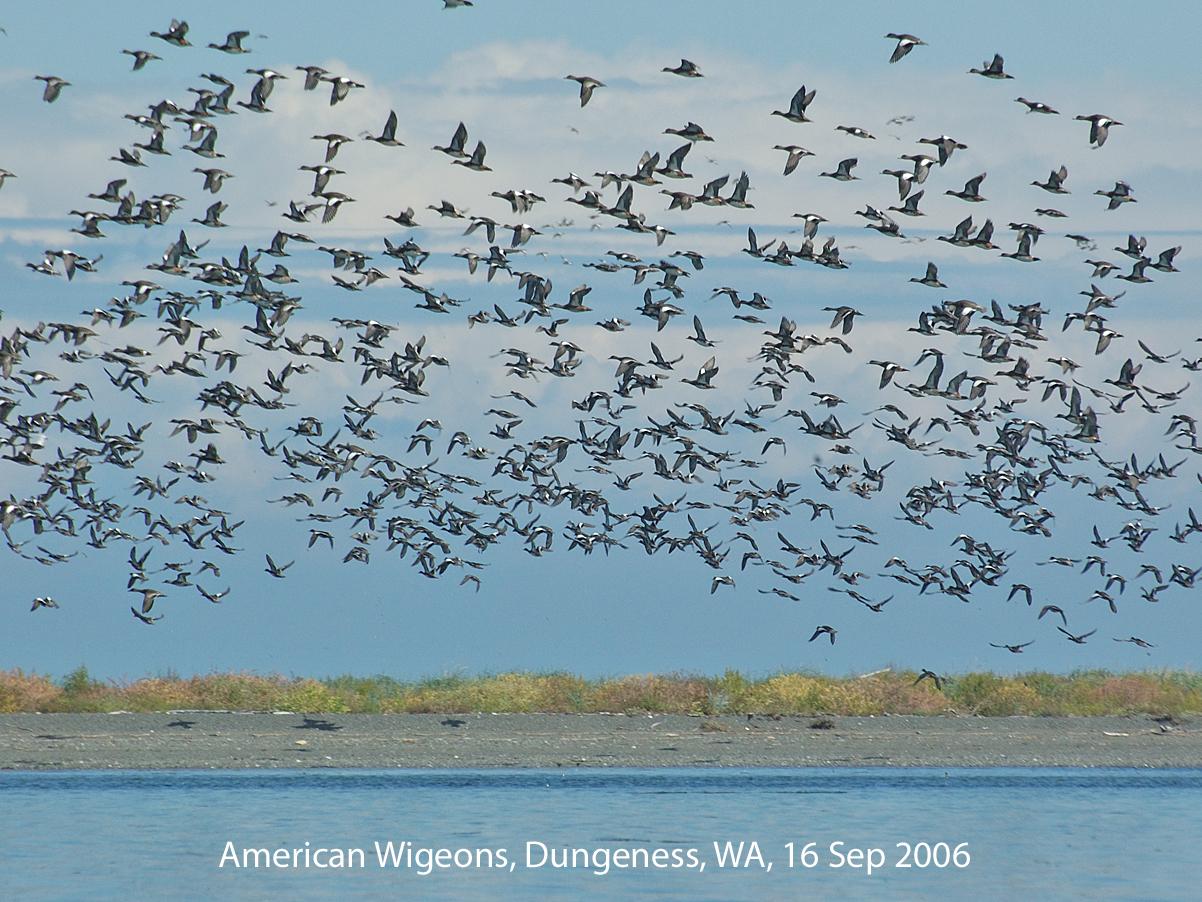 Northwest Nature Notes: FLOCKING BIRDS