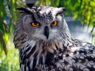 Eurasian Eagle-Owl, Ranthambore National Park
