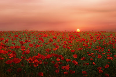 Flores silvestres al amanecer - Poppies at sunset