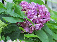 large purple pink bluish head of a hydrangea plant with green leaves