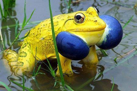 Mơ thấy bắt ếch bằng vàng
