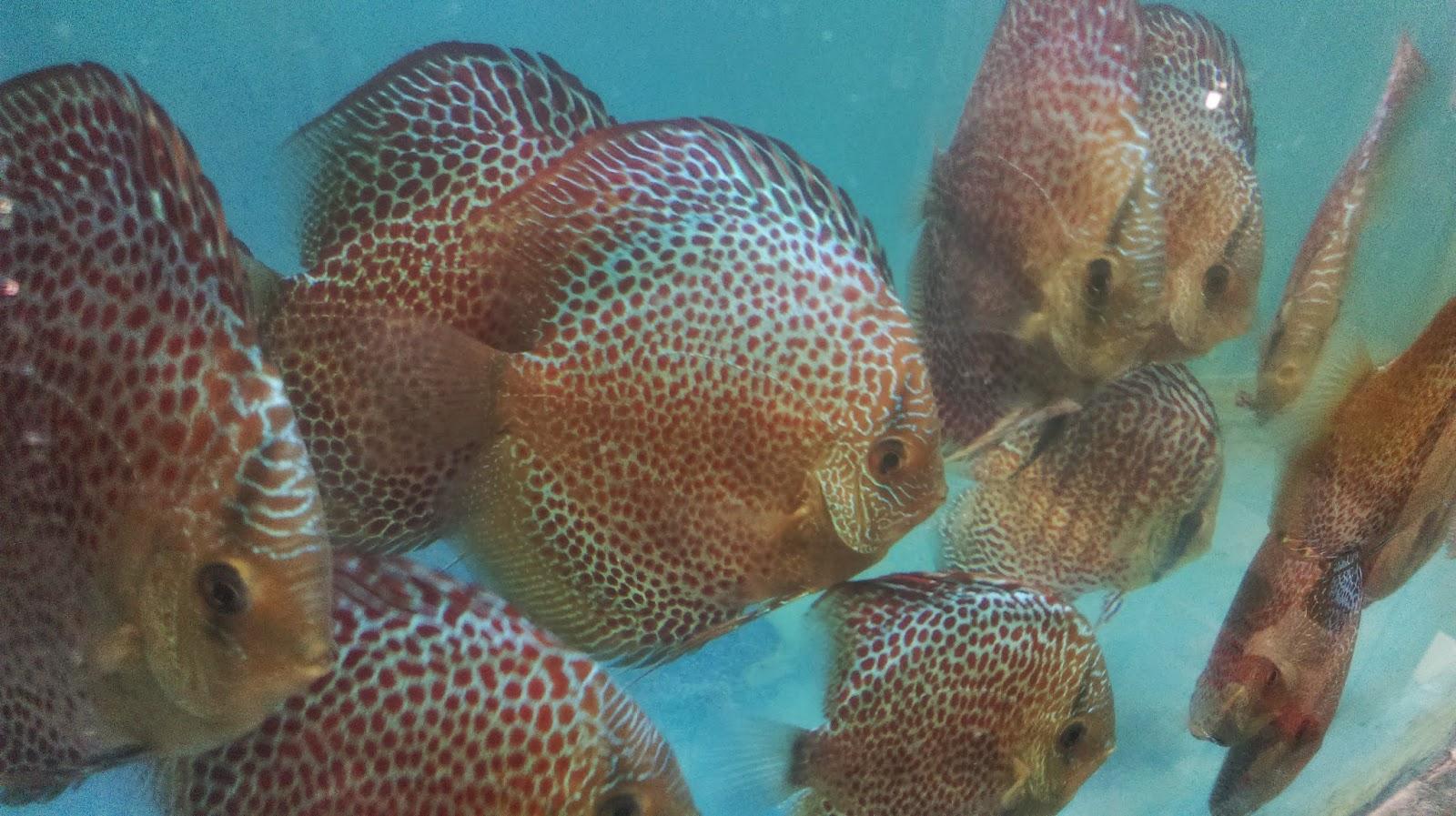 Aquarium fish tank for sale - Discus Fish For Sale Singapore 2014 2017 Fish Tank Maintenance