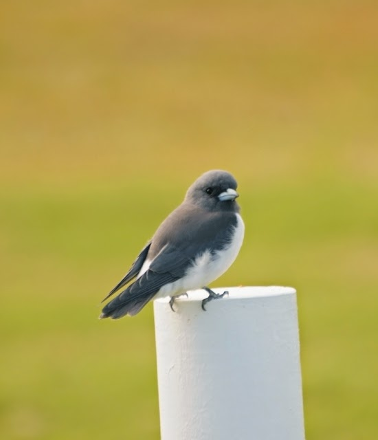 White-breasted Woodswallow 006