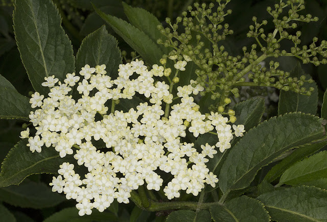 Elder flowers, Sambucus nigra.  Near Leigh on 19 May 2012.