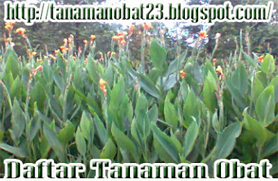 Manfaat Dan Khasiat Tanaman Bunga Tasbih  (Canna indica Linn.)