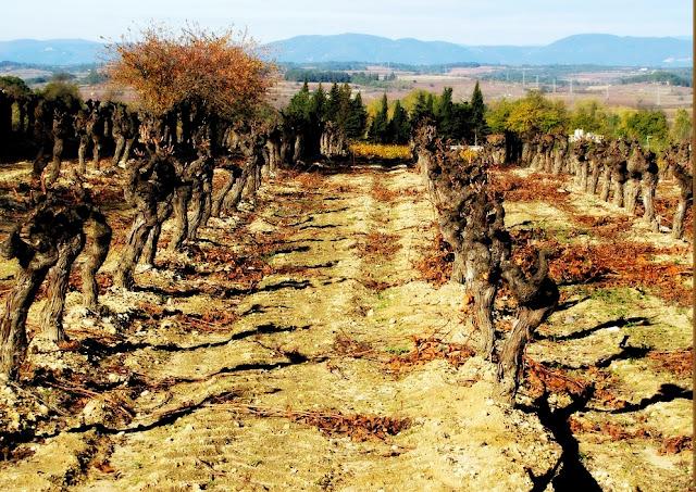 Fase de reposo vegetativo de la vitis vinífera que coincide con la