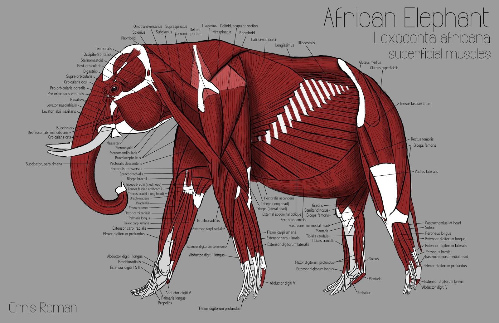 Chris Roman Elephant Anatomy Study