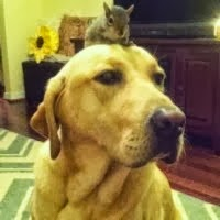 labrador adota esquilo
