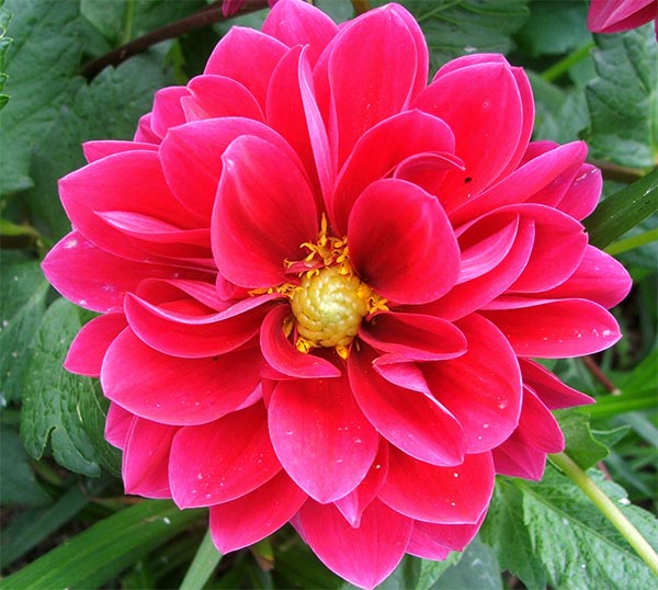 All beautifull flowers dahlia flower for Flowers that look like dahlias