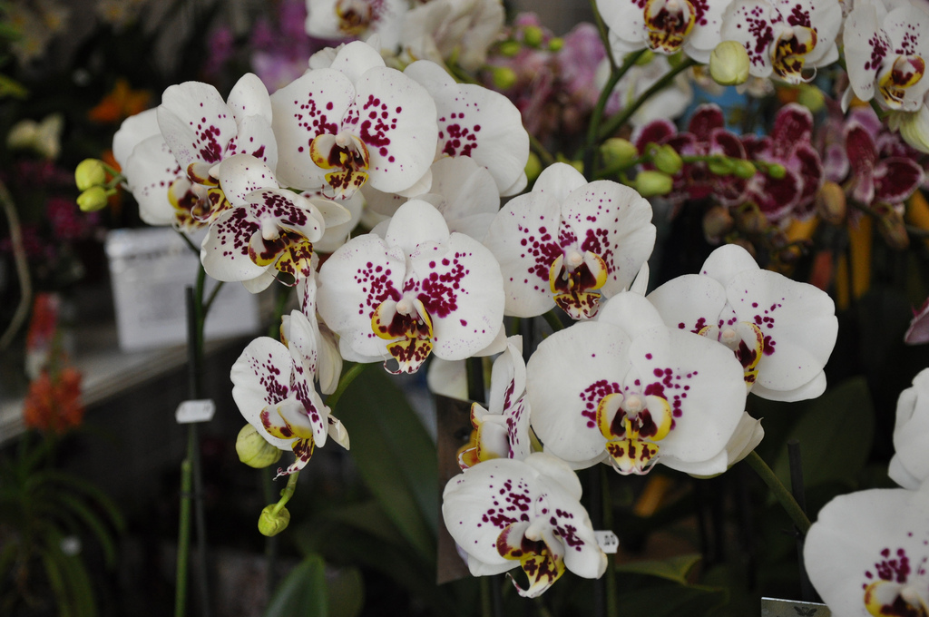 Cveće slike - Page 3 Phalaenopsis+%2527Ice+Dancer%2527