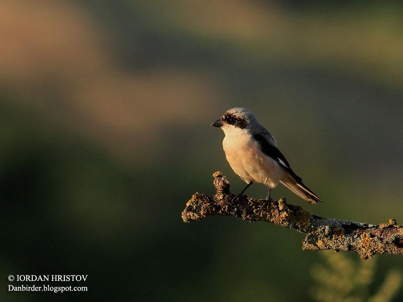 Lesser Grey Shrike photography in Bulgaria