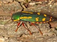 escarabajo bupréstido