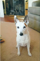Juno, a senior Jack Russell Terrier, continue to scour Upstate NY for a forever home