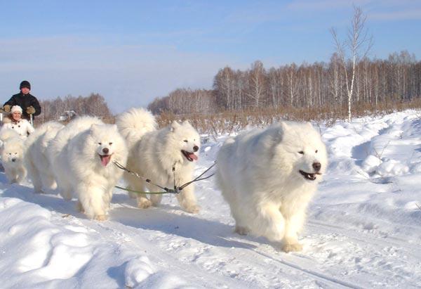 Собаки и щенки породы Шпиц  купить из питомников и