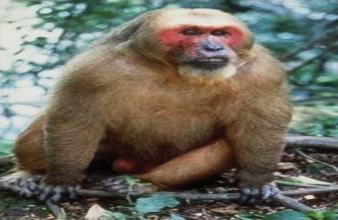 Beruk Kentoi ( Monkey ) in Perlis