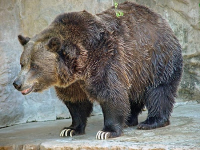 Grizzly+Bear thumb%255B3%255D 10 of Worlds Strongest Animals Compared to its Body Weight