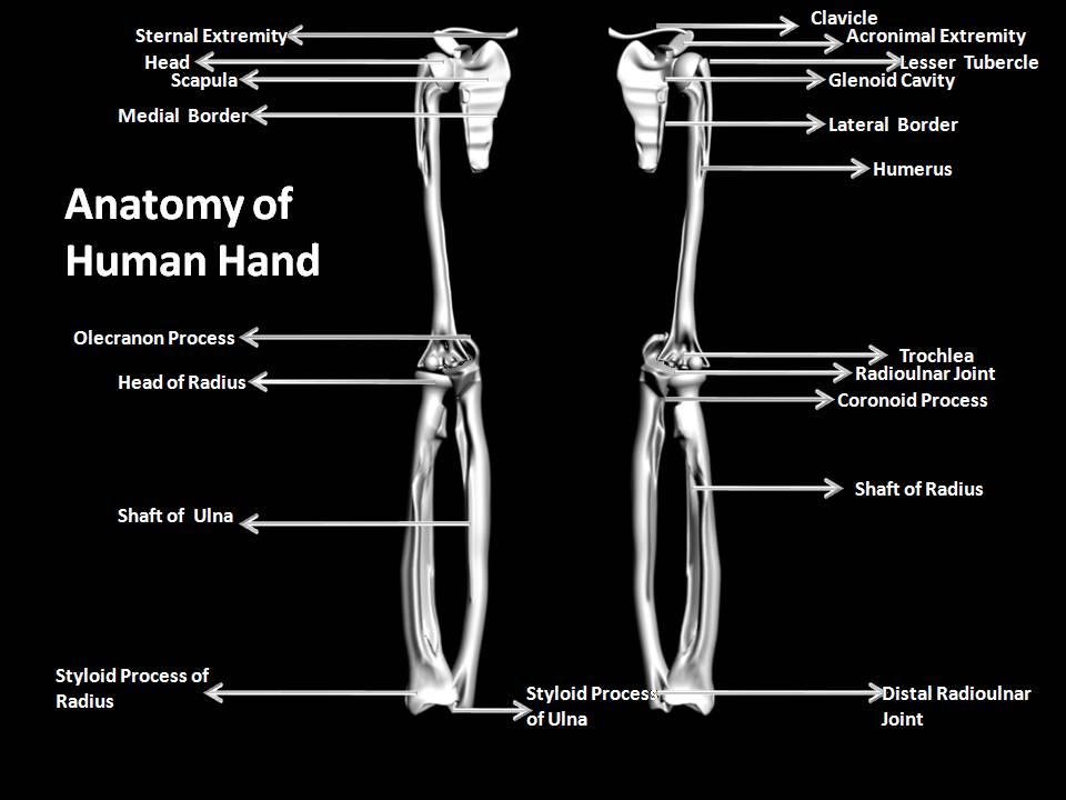 manash (subhaditya edusoft): human skeleton system : boney inner, Skeleton