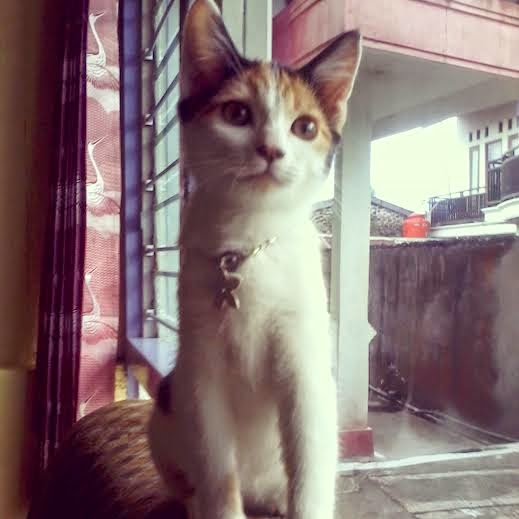 foto kucing berbulu calico