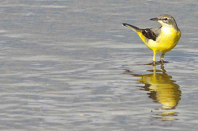 yellow wagtail, bird, freshwater,stream