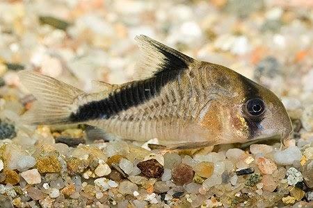 Corydoras Melini – Çöpçü Balığı Resimi