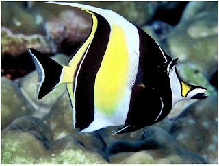 10 Jenis Ikan Hias Air Tawar Tercantik Moorish Idol