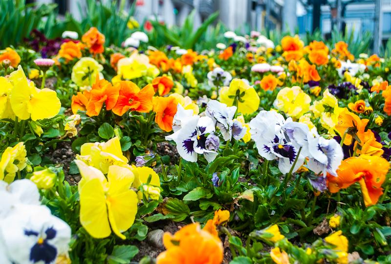Flowers in full bloom during spring in interlaken switzerland