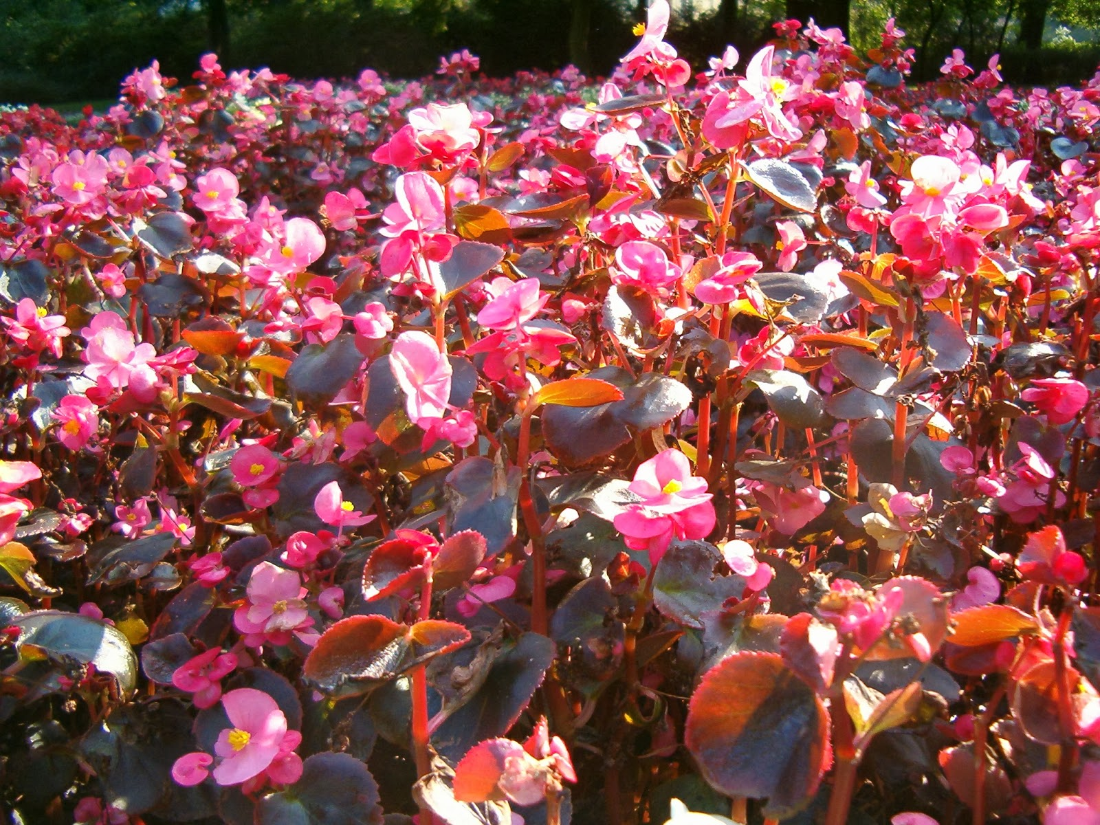 Бегония вечноцветущая миниатюрные карликовые сорта фото видео 2
