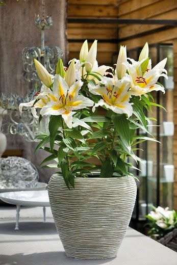 Pot lily