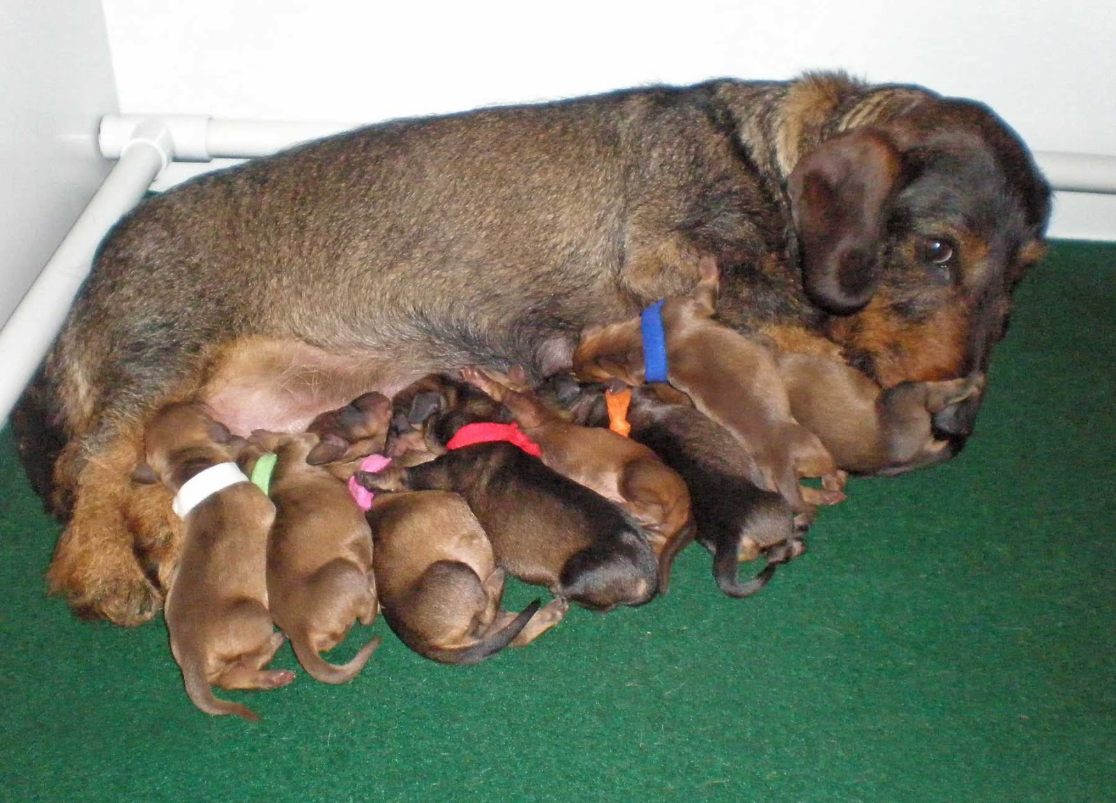 Born To Track Blog A New Litter Of Wirehaired Dachshunds Is Born In