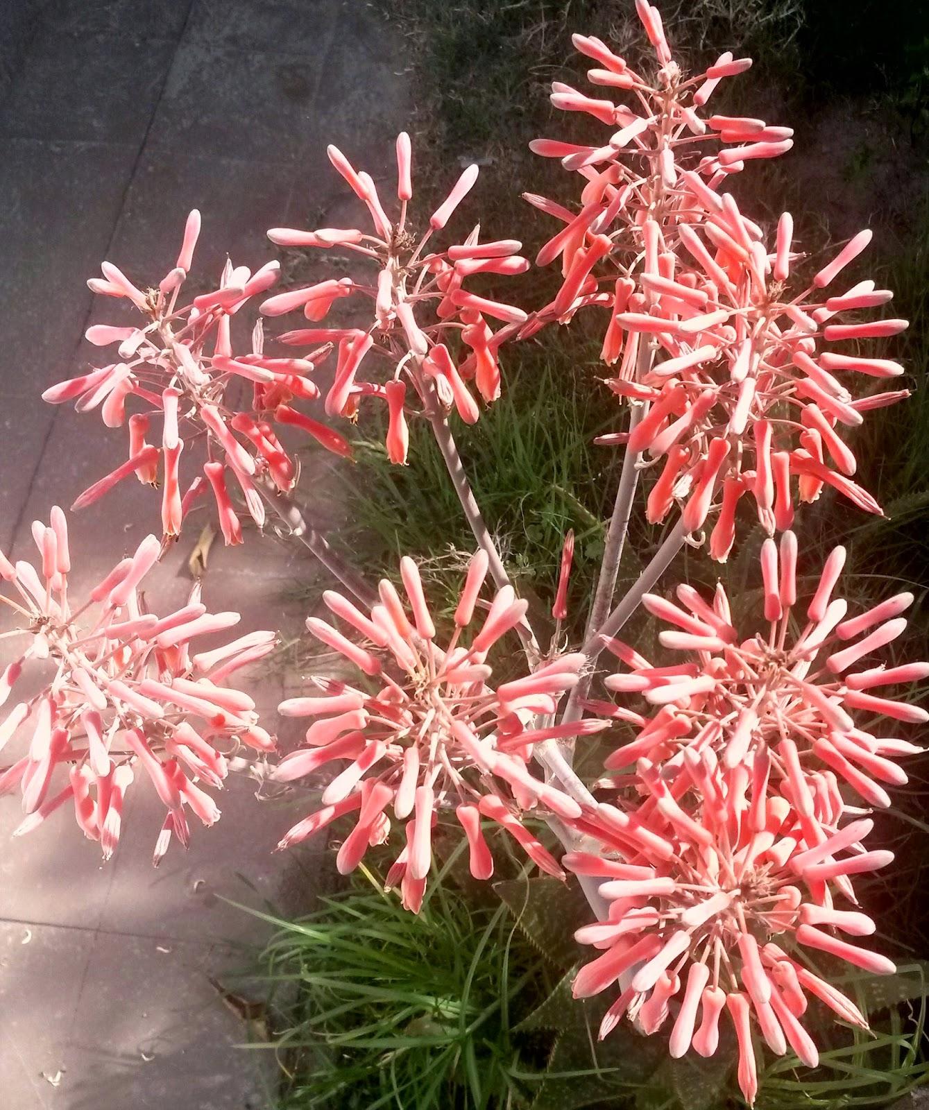 pianta-grassa-fiorita