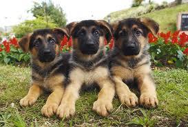 German-Shepherd-puppies-5