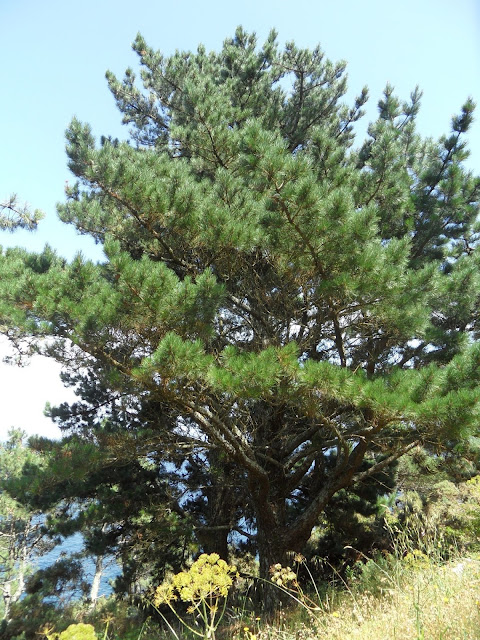 pino de monterrey