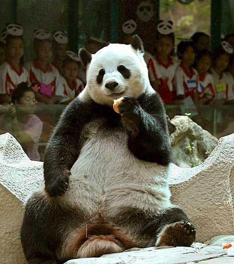 Gấu trúc cute, gấu truc dễ thương