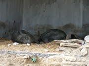 Pigs in Uttarakhand