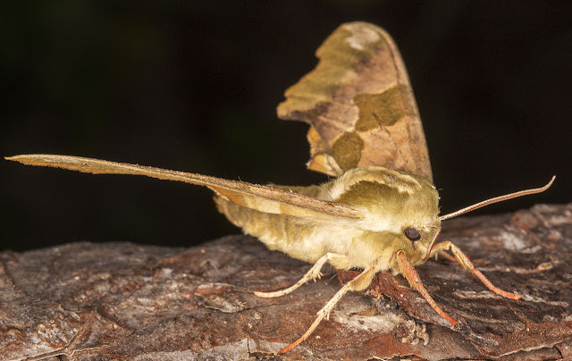 Lime Hawkmoth, Mimas tiliae.  Sphingidae.   In my garden actinic light trap in Hayes on 19 June 2013.