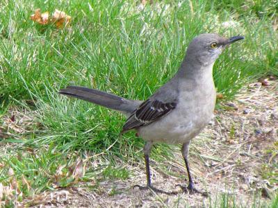 northern mockingbird walking around