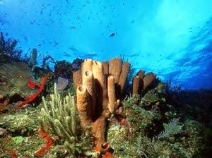 Corales de Islas de la Bahía, Caribe hondureño