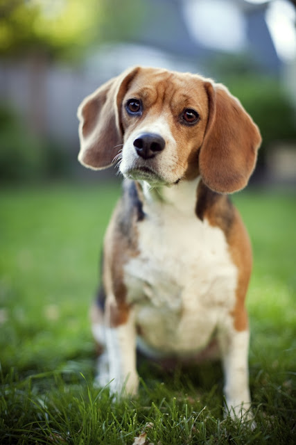 Beagle Dog History