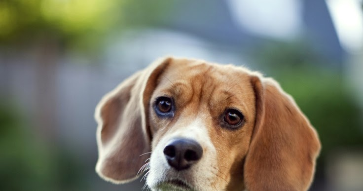 the origin and history of the beagle History dogs of similar size and purpose to the modern beagle can be traced in ancient greece back to the origin of the word beagle is uncertain, although it has been suggested that the word derives from the french begueule.