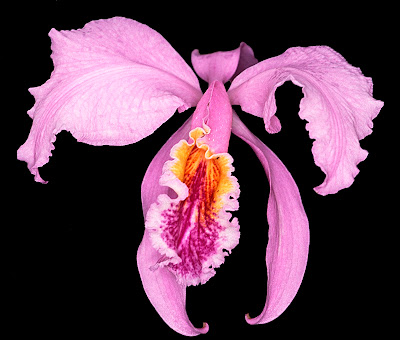 Cattleya Mossiae and Cattleya Nobilior Orchids Flower