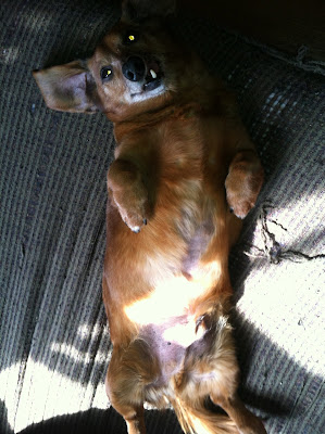 Floppy Tongue Joy - Reuben the dachshund waits expectantly for belly rubs.