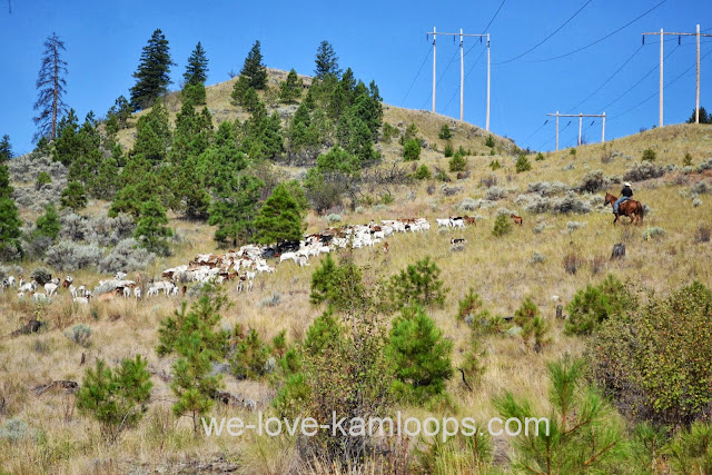 The herd of goats moving across the hillside