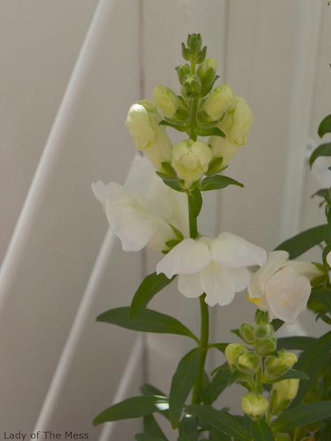 valkoinen kukka - white flower