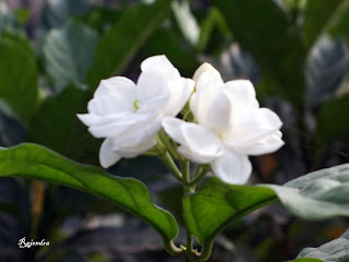 Sampaguita Flower