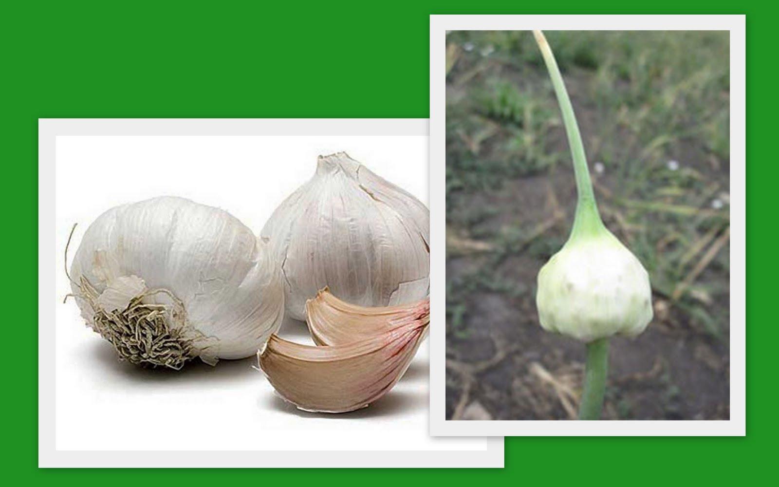 Посадка чеснока бульбочками осенью - выращивание озимого чеснока из 94